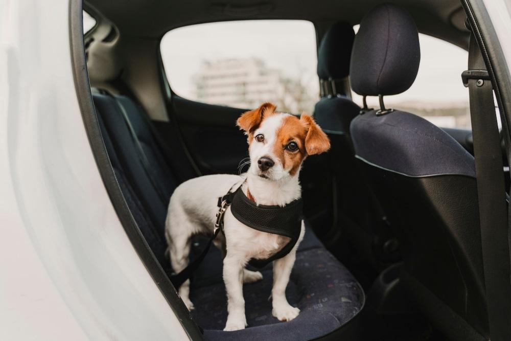 Autogordel hond beste